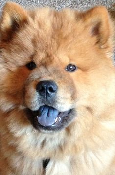 Chow Chow, blue tongue.