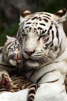 ^White Tiger mother and cub cuddling gatos. Animals And Pets, Baby Animals, Cute Animals, Wild Animals, Funny Animals, Beautiful Cats, Animals Beautiful, Big Cats, Cats And Kittens
