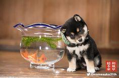 豆助 Japanese Akita, Japanese Dogs, Pretty Animals, Cute Animals, Cute Puppies, Cute Dogs, Japanese Dog Breeds, Clever Animals, Cat Scottish Fold
