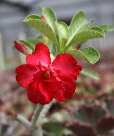 15 Impossible-to-Kill Outdoor Plants : Desert Rose Desert Rose Plant, Desert Plants, Tropical Plants, Desert Flowers, Purple Flowers, Butterfly Weed, Butterflies, Chicago Botanic Garden, Sandy Soil