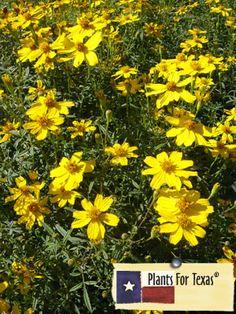 Organic Gardening Research Key: 3237009089 Texas Gardening, Gardening Zones, Organic Gardening, Gardening Tips, Deer Resistant Flowers, Texas Plants, Daisy, California Native Plants, Starting A Vegetable Garden