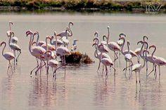 Can you find the gatecrasher? ;D Pink #flamingos at #Cervia's #Saltpans by Thomas Venturi