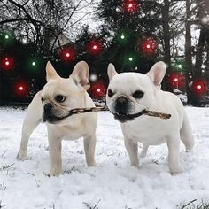 French Bulldog Branch Managers ❤️