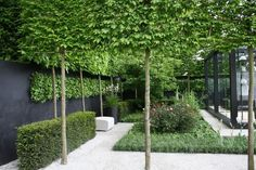 Ivy Clad: Privacy by Pleaching/ Here you can see the bamboo sticks helping to support and graft the trees