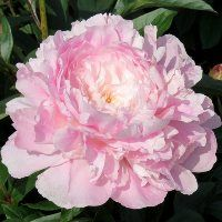 On The Net Landscape Design And Style - The New On-line Tool That Designers Are Flocking To For Landscape Designs Hollingsworth Peonies - Therese Exotic Flowers, Tropical Flowers, Fresh Flowers, Pink Flowers, Beautiful Flowers, Yellow Roses, Pink Roses, Peonies And Hydrangeas, Peonies Garden