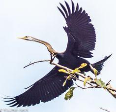 The seriously majestic snake bird at the Ranganthetu Bird Sanctuary