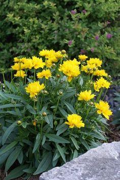 Menyecskeszem, jó összerakni közönséges levendulával. Évelő. / Coreopsis grandiflora Presto