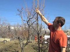 How To Prune Pear Trees - YouTube