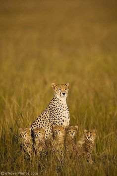 cheetah mama and cubs