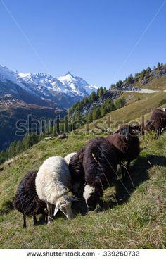 #Herd Of #Sheep Infront Of #Grossglockner #Highest #Mountain In #Austria 3.798m…