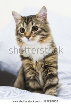 puppy cat of siberian breed, brown white version