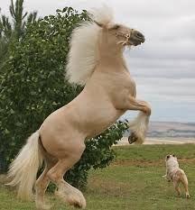 caballos percherones -