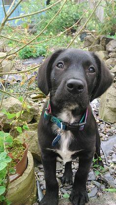 Bailey the Springador 3 months old