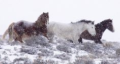 Wild Snow Horses is a wild stallion and his 2 mares in Adobe Town in Wyoming  www.LivingImagesCJW.com