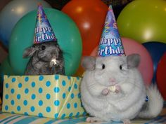 Chinchillas.  I love you.