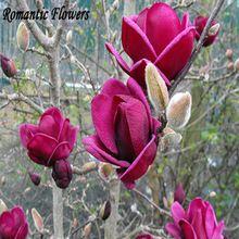 """Raras """" Elf """" Elf Dark rojo árbol de la Magnolia semilla de flor, 10 / paquete, Asaka Garden Tree(China (Mainland))"""