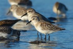 Western Sandpiper bill length comparison - female (top) and male (bottom)
