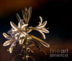 Desert Lily: See more images at http://robert-bales.artistwebsites.com/