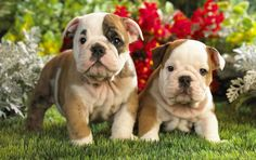 So cute, baby bulldogs.