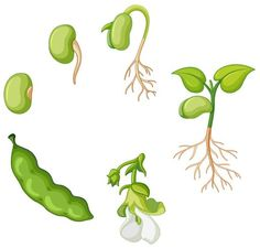 Free Vector Clipart, Free Vector Graphics, Free Vector Images, Seed Illustration, Plant Cartoon, Seed Tattoo, Plant Drawing, Vector Photo, Life Cycles