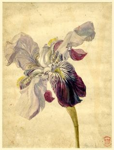 Jan Van Huysum (Dutch, 1682-1749)  Iris Variety, 18th century