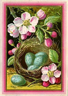 nest of robin eggs