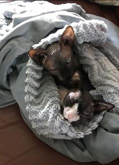 Sphynx Kitty Crazy Cat Lady, Crazy Cats, Hairless Kitten, Baby Animals, Cute Animals, Sphinx Cat, Cornish Rex, Cat With Blue Eyes, Domestic Cat