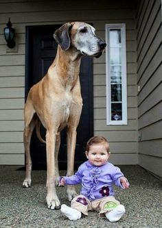 Great Dane & tiny friend!