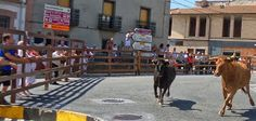 Santacara: Vacas Hermanos Arriazu - 23 de Octubre de 2016
