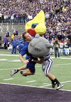 Kansas State Wildcat Mascot Knocked the Kansas Jayhawks Head Off With a Bone Crushing Hit - Fanatic Sports and Cards Kansas State Football, State Of Kansas, Kansas State University, Kansas Jayhawks, College Football, Football Stuff, Hometown Heroes, Mlb Teams, Sports