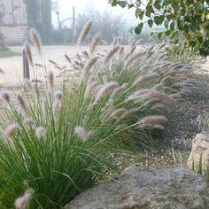 Pennisetum alopecuroides Hameln – Kleines Lampenputzergras - All For Garden Garden Architecture, Ornamental Grasses, Garden Types, Japanese Garden, Traditional Garden, Native Garden, Modern Garden, Garden Planning, Australian Garden