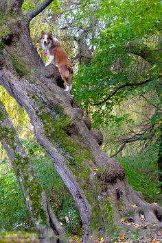 Border collie Ray on tree in Kislovodsk, Russia by Vikarus