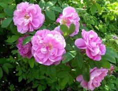 Rosa 'Therese Bugnet'