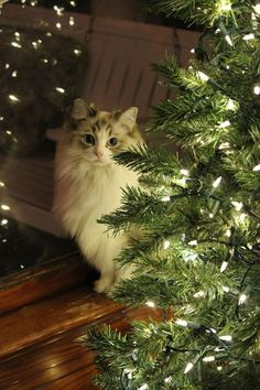 Simple Christmas decoration and simply beautyful longhair cat