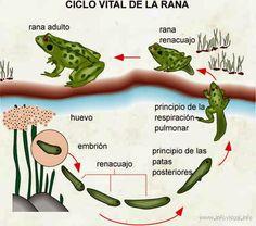 CICLO DE LA RANA