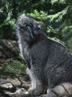 pallas cat. such soulful eyes