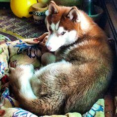 I love the color of my husky!