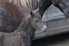 Curly Miniature filly