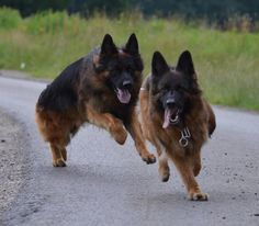 Gloria is a Long hair German Shepherd. She is one of our Breeding female at Zuflucht K9s. Beautiful Temperament and drive. Odin and Gloria's day of fun.  https://www.facebook.com/ZufluchtK9s/