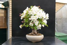 crabapple bonsai Picture by: jeremy_norbury @ Flickr