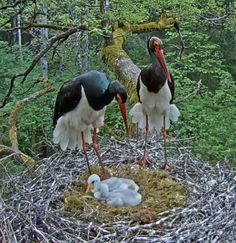 Black stork in Latvia