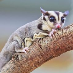 What Baby Foods Can Sugar Gliders Eat