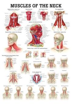 Buy medical educational anatomy posters and anatomical models for, Acupuncture,Chiropractic,Veterinary and more. Thousands to choose from. Muscles Of The Neck, Human Anatomy And Physiology, Medical Anatomy, Body Anatomy, Anatomy Of The Neck, Neck Muscle Anatomy, Nerve Anatomy, Massage Techniques, Natural Health Remedies