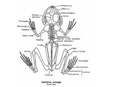 A diagram of the skeleton of a frog. Looking at how a