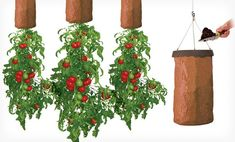Grow tomatoes upside down in greenhouse from ceiling?