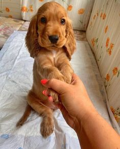 Cocker Spaniel is a loyal and funny breed😃. Perro Cocker Spaniel, Cocker Spaniel Dog, Cute Dogs And Puppies, Baby Dogs, Doggies, Corgi Puppies, Cute Little Animals, Cute Funny Animals, Cutest Puppy Ever