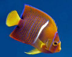 Picture of Passer Angelfish. http://www.fish-species.org.uk/angel-fish/09-passer-angelfish.htm