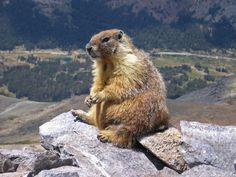 A marmot seen on top of Mount Dana, Yosemite, CA, USA. The road in the background is Tioga Pass Road.