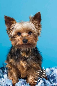 Oscar is an adoptable Yorkshire Terrier Yorkie searching for a forever family near Baton Rouge, LA  He is totally free of mange and has a complete gorgeous body of hair now, completed heartworm treatment and just had his dental and is enjoying his pearly whites and fresh breath.!
