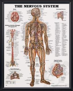 Nervous System anatomy poster illustrates nerves in the body, brain, midbrain, medulla oblongata and spinal cord. Neurology chart for doctors and nurses.